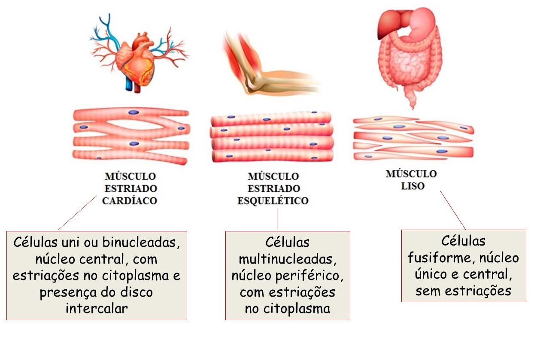 Tecido Muscular Histologia Interativa