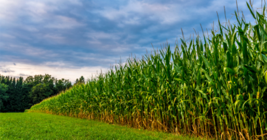 Efeitos da seca nas plantações de milho podem ser amenizados com açúcar natural, aponta pesquisa desenvolvida na UNIFAL-MG